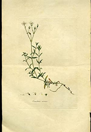 Cerastium Arvense, Corn Cerastium or Mouse-Ear Chickweed [from Flora Londinensis, 1789-1798]