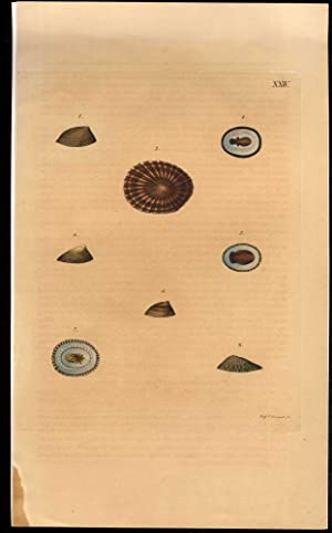 Seashells [Handcolored engraving from Zoologischer Atlas]