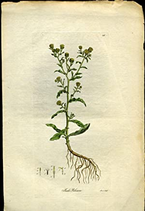 Inula Pulicaria. Small Fleabane [from Flora Londinensis, 1789-1798]