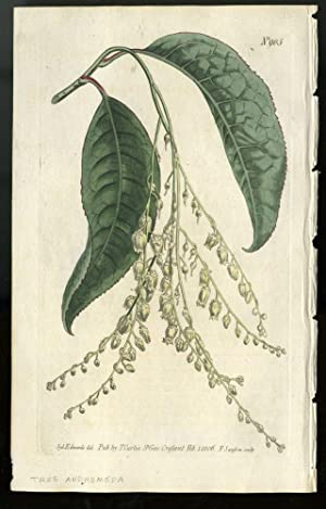 Tree Andromeda plate no. 905 [from Curtis's Botanical Magazine]