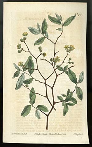 Pondspice Plate no. 1471 [from Curtis's Botanical Magazine]