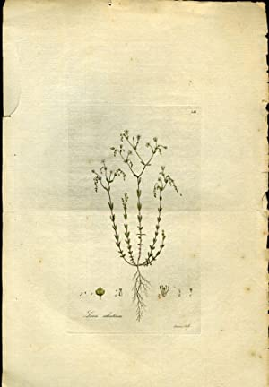 Linum Catharticum, Purging Flax [from Flora Londinensis, 1789-1798]