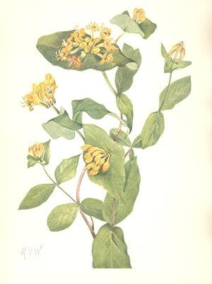 North American Wild Flowers- Douglas Honeysuckle (flower.): Walcott, Mary Vaux