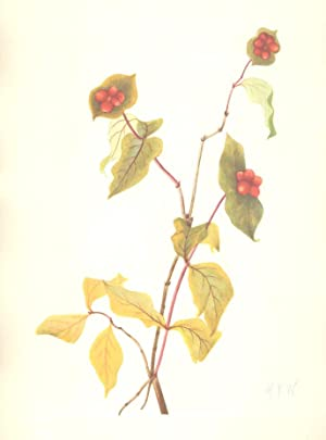 North American Wild Flowers- Douglas Honeysuckle (fruit.): Walcott, Mary Vaux