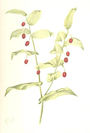 North American Wild Flowers -Clasping Twistedstalk [Print]: Walcott, Mary Vaux