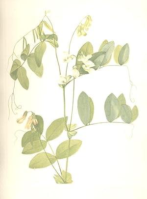 North American Wild Flowers -White pea [Print]: Walcott, Mary Vaux