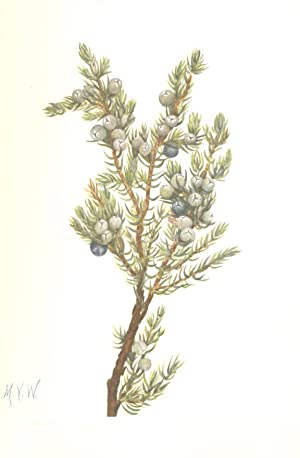 North American Wild Flowers -Mountain Juniper. [Print]: Walcott, Mary Vaux