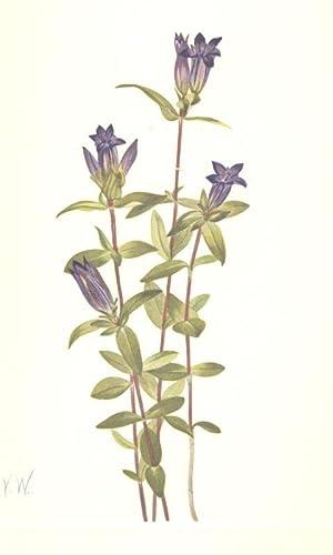 North American Wild Flowers - Riverbank Gentian: Walcott, Mary Vaux