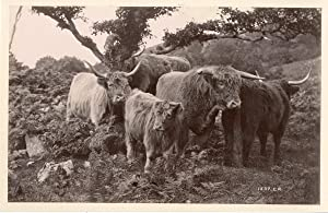 C.R., UK, Group of bulls