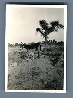 India, Mother donkey and her
