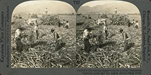STEREO, Pérou, Santa-Clara, harvesting sugar-cane on a great plantation