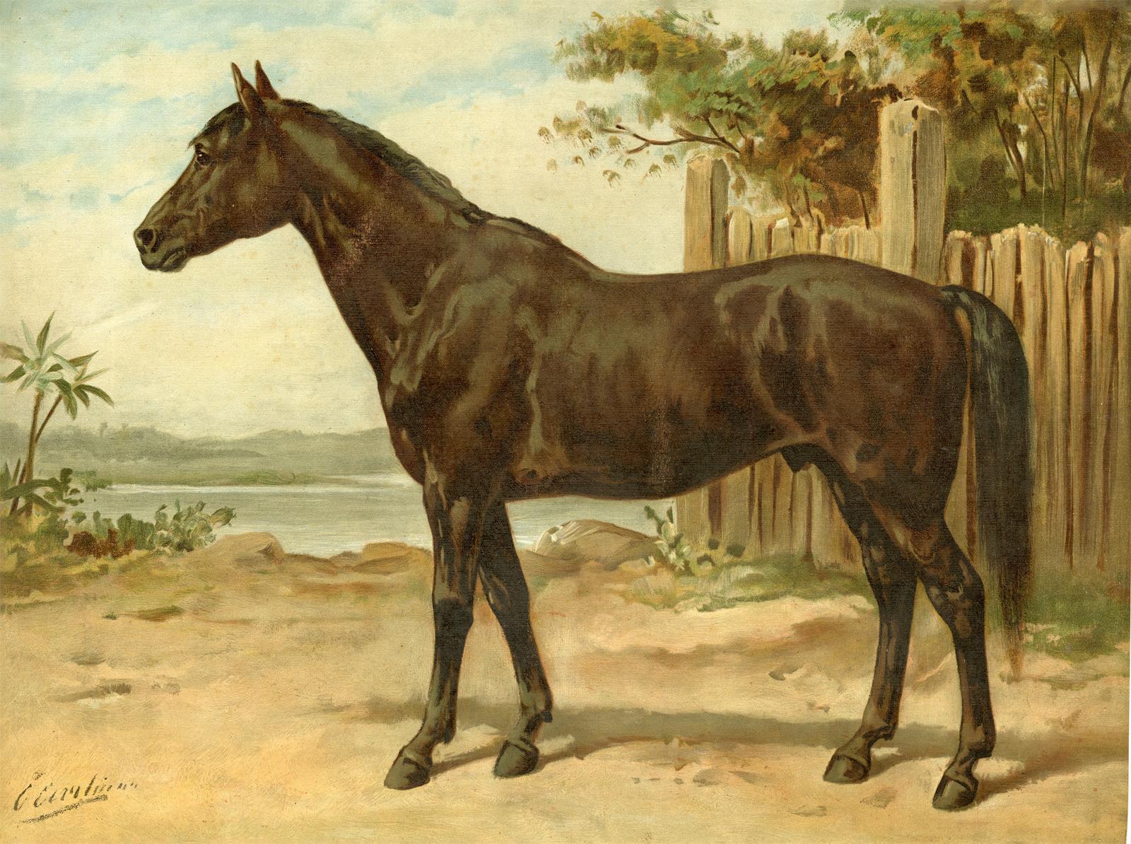Horse Breeds Australian Horse Paard After Eerelman C 1898 1898 Kunst Nbsp Nbsp Grafik Nbsp Nbsp Poster Pictura Prints Art Books