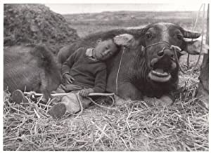 Angry Muzzled Cow & Sleeping Child In Chinese Field Award Real Photo Postcard