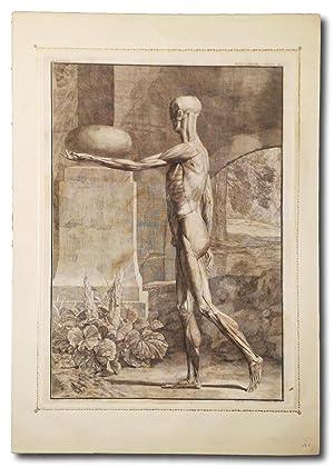 Tabula IX Muscolorum: Albinus, Bernhard Siegfried