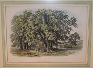 The Wych Elm. Norbury Park No 19: Geo Barnard