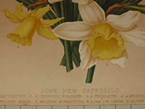 """1879 Color Lithograph of """"Some New Daffodils"""" - Flowers: Constance Pierrepont"""