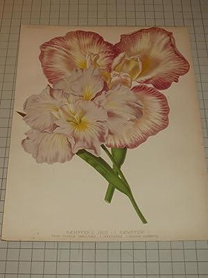 "1879 Color Lithograph of ""Kaempfer's Iris"" (I"