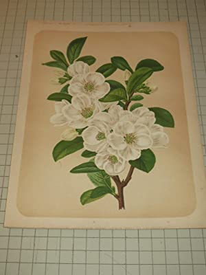 """1878 Botanical Print of """"Large White Japan Quince"""" - Flowers"""