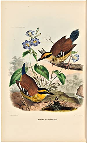 A MONOGRAPH OF THE PITTIDAE, OR, FAMILY OF ANT THRUSHES