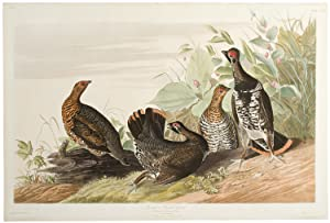 SPOTTED OR CANADA GROUSE. [SPRUCE GROUSE]