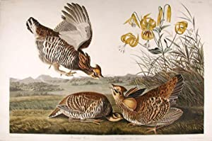 PINNATED GROUSE [GREATER PRAIRIE-CHICKEN]. [Pl. 186]