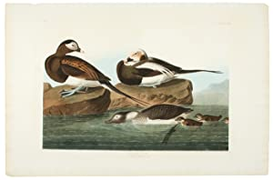 LONG-TAILED DUCK [OLDSQUAW]. [Pl. 312]