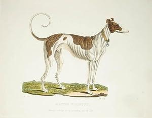 Kolorierte Radierung von Götz. Glatter Windhund.: Windhund, Greyhound, Jagdhund