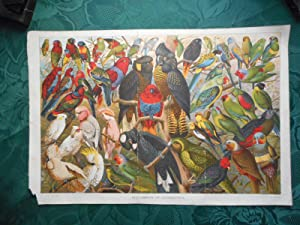 The Parrots of Australasia - Large Chromolithographic ORIGINAL Print from ' the Boys Own Paper' C...