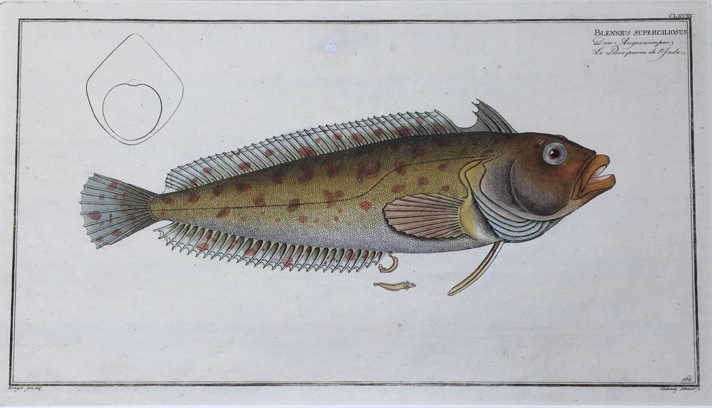 Blennius superciliosus / Der Augenwimper / Le: FISCHE / BLENNIUS