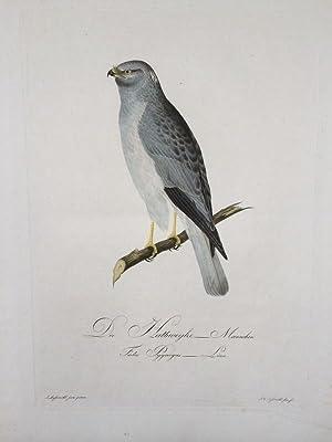 Die Halbweihe - Männchen. Falco Pygargus Linn.: ORNITHOLOGIE GREIFVGEL WEIHE male engl Harrier...