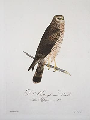 Die Halbweihe - Weibchen. Falco Pygargus Linn.: ORNITHOLOGIE / GREIFVÖGEL / WEIHE (female; engl.: ...
