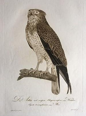 DerAdler mit weißen Augenkreisen - Weibchen. Aquila leucamphomma Bek.: ORNITHOLOGIE / ...
