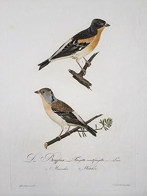 Der Bergfink - Fringilla montifringilla. Linn. (Männchen und Weibchen auf einem Blatt).: ...