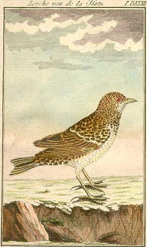 Lerche von de la Plata. (T. DXXXIV.): Ornithologie - Unbez.: