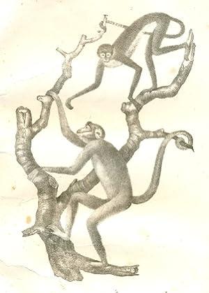 1. Der Mono oder Miriki. Le Miriki.: Biologie - Anon.: