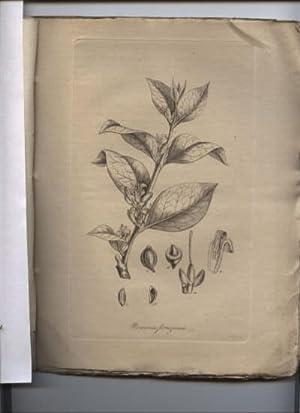 Genera Nova Plantarum Iconibus Observationibusque Illustrata. Zwei: Drucke von Pflanzen