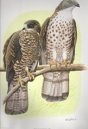 Iconografia degli uccelli d'Italia - Iconography of italian birds.: Vol. 2: Falconiformes, ...