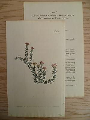 Gnaphalium Ericoides. Kolor. Kupferstich von Sansom bei: Botanik.-