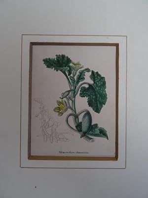 Momordica elaterium. Kolorierter Kupferstich von Benjamin Maund: Botanik.-