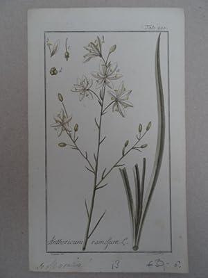 Anthericum ramosum. Altkolorierter Kupferstich von J. Zorn: Botanik.-