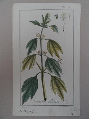 Leonurus cardiaca. Altkolorierter Kupferstich von Johannes Zorn: Botanik.-