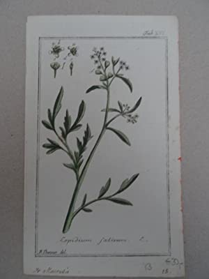 Lepidium sativum. Altkolorierter Kupferstich von J. Zorn: Botanik.-