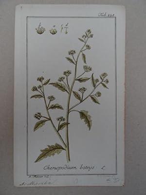 Chenopodium botrys. Altkolorierter Kupferstich von Johannes Zorn: Botanik.-