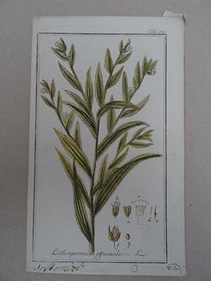Lithospermum officiale. Altkolorierter Kupferstich von J. Zorn: Botanik.-