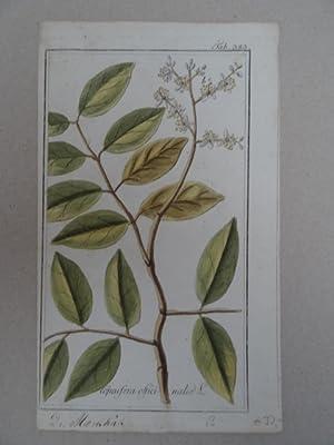 Copaifera officinalis. Altkolorierter Kupferstich von Johannes Zorn: Botanik.-