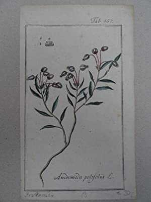 Andromeda polifolia. Altkolorierter Kupferstich von Johannes Zorn: Botanik.-