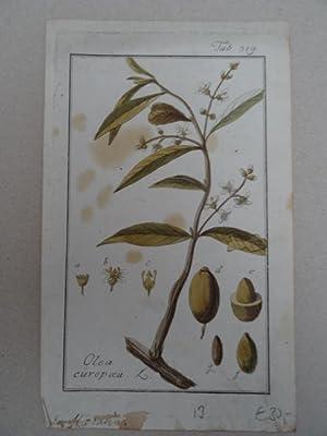 Olea europaea. Altkolorierter Kupferstich von J. Zorn: Botanik.-