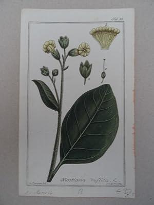 Nicotiana rustica. Altkolorierter Kupferstich von Johannes Zorn: Botanik.-