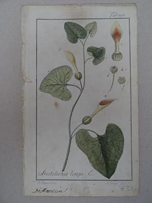 Aristolochia longa. Altkolorierter Kupferstich von Johannes Zorn: Botanik.-
