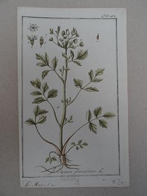 Apium graveolens. Altkolorierter Kupferstich von Johannes Zorn: Botanik.-